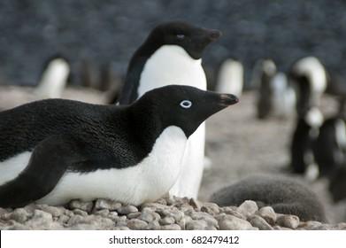 Paulet Island Antarctica, adelie penguin on nest