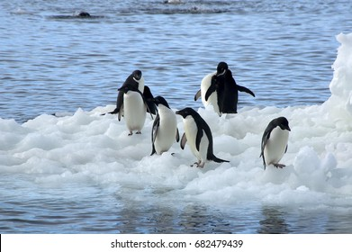 Paulet Island Antarctica, group of adelie penguins on floating ice