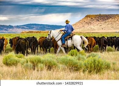 Paulina, Oregon - 8/7/2008: A cowboy is herding cattle on a ranch in eastern Oregon