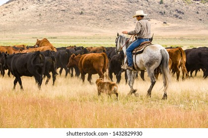 Paulina, Oregon - 8/7/2008: A cowboy and his dog are herding cattle on a ranch in eastern Oregon