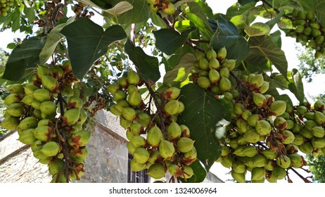 Paulownia clusters of yellowish green fruits, resemble Macadamia clusters of nuts, on tree branches. Immature fruits are nut-like capsules in clusters on branches with large, heart-shaped leaves.