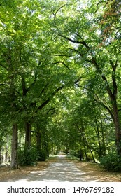 A paved path through tall plane trees