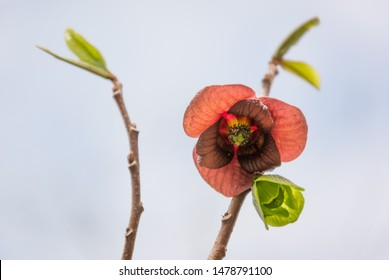 Paw Paw (Asimina triloba) flowers and emerging leaves in spring, Maryland, USA