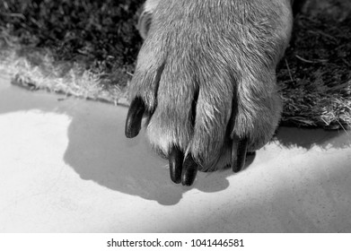 a paw of a dog with long nails, b&w