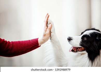 Paw and hand. Border Collie dog gives paw. Hand of owner holding a paw of dog