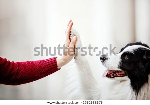 Paw and hand. Border Collie dog donne de la patte
