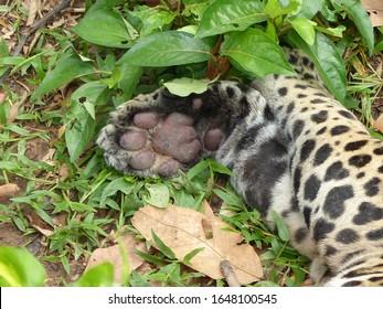 Paw of Jaguar (Panthera onca) Felidae family. Amazon rainforest, Brazil