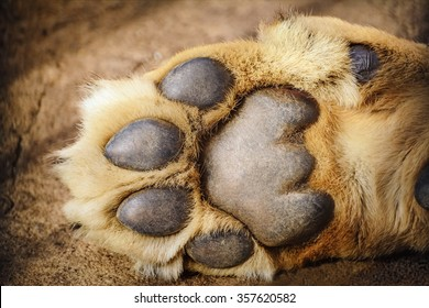 Paw of Lion Showing Pads