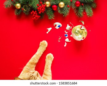 Paw of a red cat and a broken Christmas glass ball under the New Year's branches of spruce on a red background, top view. Christmas card