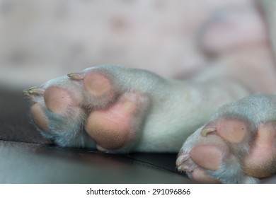 Paw of young French Bulldog dog