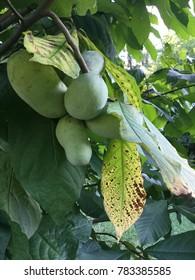 Pawpaw Fruit on Branch