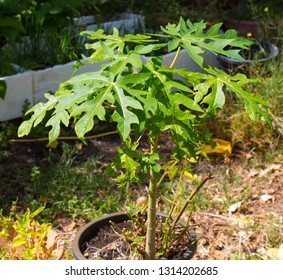 Pawpaw papaya plant grown from seed  with distinctive lobed green leaves is a tropical orange colored fruit delicious in salads and  slushies.