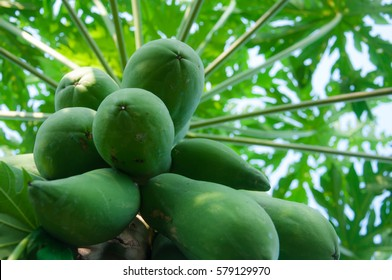 pawpaw tree, papaya tree