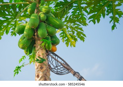 pawpaw tree, papaya tree,harvest papaya tree