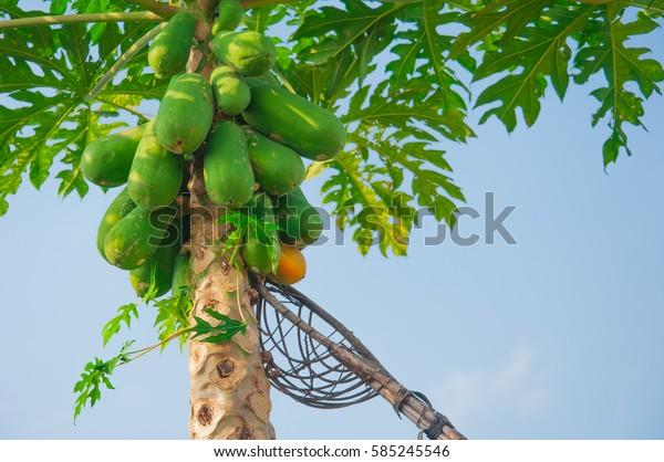 pawpaw tree, papaya tree,harvest papaya tree