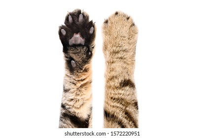 Paws of a cat Scottish Straight, isolated on white background, closeup