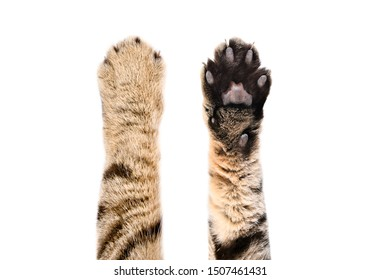 Paws of a cat Scottish Straight, top and bottom view, isolated on white background