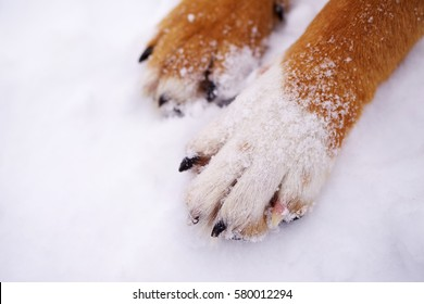 Paws of a dog on snow.