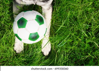 paws of a dog with a soccer ball on green grass top view closeup. the concept of Pets.