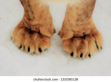 paws of a lion close up on white snow