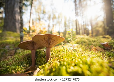 Paxillus Involutus In Autumn Forest In Belarus. Brown Roll-rim, Common Roll-rim, Or Poison Pax, Is A Basidiomycete Fungus.
