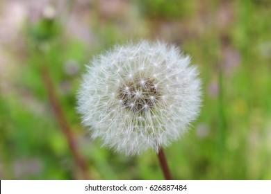 Pazardzhik, Bulgaria - 23 April, 2017: Close up shot of dandelion in Pazardzhik outdoor area