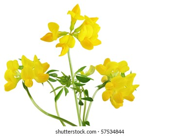 Pea birdfoot trefoil wild flower plant isolated on white