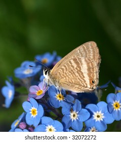 Pea blue butterfly on forget-me-nots.