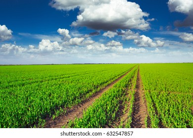 Pea field and blue sky background