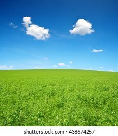 Pea field in sunny day.