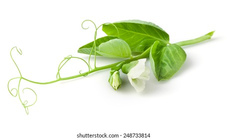 Pea leaves, flowers and tendril on branch isolated on white