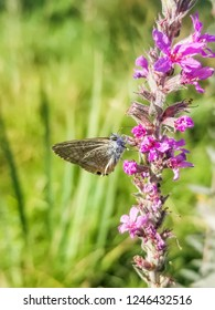 Pea or long-tailed blue butterfly, Lampides boeticus, growing in Galicia, Spain