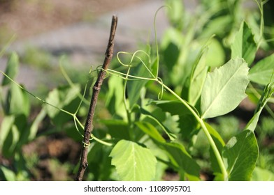 Pea plant tendrils hold onto a twine in a flower bed