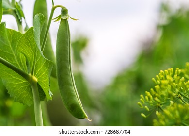 pea pod on a branch, the natural environment of growth