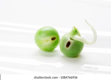 Pea seed germination. A green pea sprout ready for seedling.