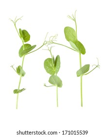 Pea Shoot and Tendrils isolated on white background with shallow depth of field.