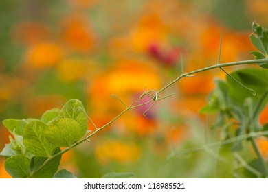 Pea tendrils over the blooming Calendula flowers in the background.