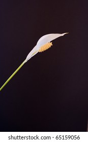 Peace Lilly against a black background