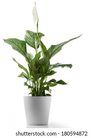 Peace Lilly A potted plant isolated on white