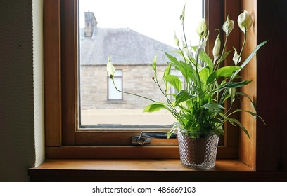 Peace lily in the house beside the window