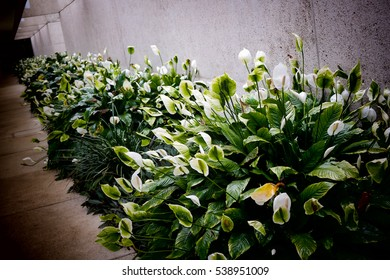 Peace lily on the side of a walk way