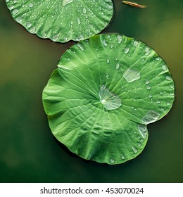 Peaceful and calm concept . Composition of Green lotus leaves with rain drop in the lake .The details of lotus leaves over water.