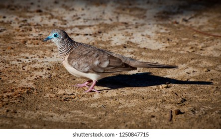The peaceful dove (Geopelia placida) is a pigeon native to Australia and New Guinea. The peaceful dove is closely related to the zebra dove of south-east Asia and the barred dove of eastern Indonesia.