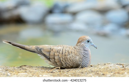 peaceful dove  on  ground ,thailand