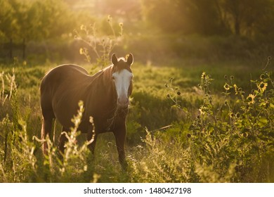 Peaceful farm morning during sunrise, mare horse grazing in meadow.