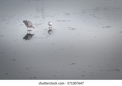 Peaceful gulls standing on the frozen water with beautiful reflection