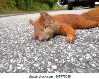 peaceful looking common red squirrel lying on a road, just been killed by a car that is parked in the background with an open door