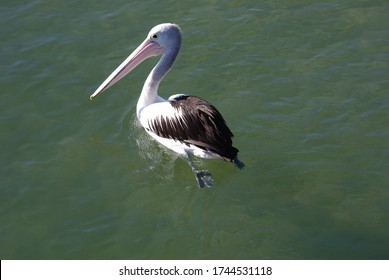 Peaceful Paddling Pelican at Pumicestone Passage
