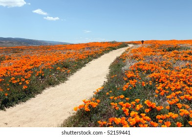 A peaceful path through a field of wild California poppies.