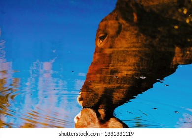 Peaceful reflection of cow getting a drink out of pond on cattle farm.